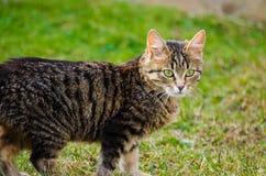 Kotów spacery w świeżym powietrzu Zdjęcie Royalty Free