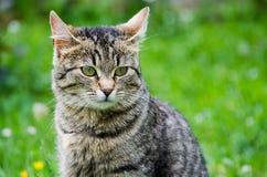 Kotów spacery w świeżym powietrzu Obrazy Royalty Free