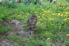 Kotów spacery w dandelions Zdjęcia Royalty Free