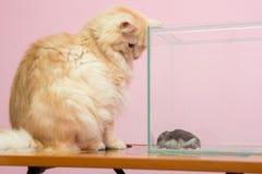 Kotów spojrzenia przy akwarium chomikiem Obraz Royalty Free