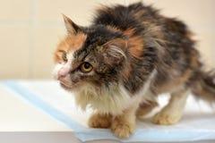Kotów weterynarzi Obrazy Royalty Free