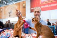 kotów wystawy zawody międzynarodowe Zdjęcia Royalty Free