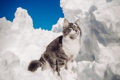 Kotów zwierząt zimy Ñ ‰ а śnieg Zdjęcie Stock