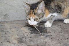 Kot łapał myszy Kot je złapanej myszy Domowy myśliwy Zdjęcie Royalty Free