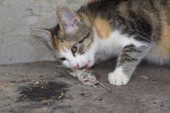 Kot łapał myszy Kot je złapanej myszy Domowy myśliwy Zdjęcie Stock