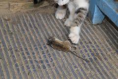 Kot łapał myszy Kot je złapanej myszy Domowy myśliwy Fotografia Stock