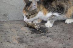 Kot łapał myszy Kot je złapanej myszy Domowy myśliwy Obrazy Royalty Free