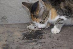 Kot łapał myszy Kot je złapanej myszy Domowy myśliwy Fotografia Royalty Free