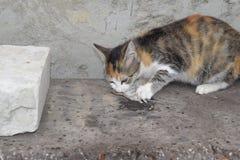 Kot łapał myszy Kot je złapanej myszy Domowy myśliwy Obraz Royalty Free