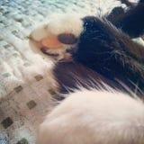 Kot łapa obrazy stock
