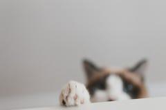 Kot łapa obraz stock
