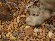 Kot łapa na skałach fotografia royalty free
