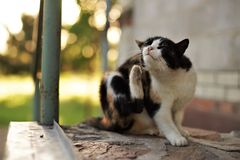 Kot ?apy narysy za ucho Pch?y i cwelichy w zwierze domowy obraz stock