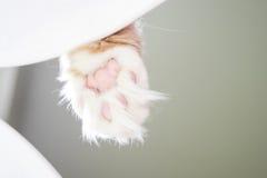 Kot łapy szczegół Fotografia Stock