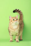 kot śliczny Obraz Royalty Free
