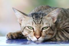 Kot śliczny, kot twarzy sypialnego portreta piękny zakończenie up fotografia royalty free