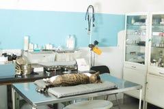 Kot anestezja w weterynaryjnym obrazy royalty free