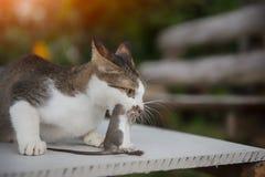 Kot łapie szczura Zdjęcia Royalty Free