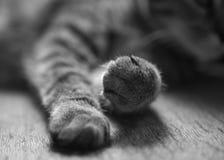 kot łapy Obrazy Stock