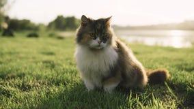 Kot bawić się w trawie Dziki kot wędruje w zielonej trawie zbiory