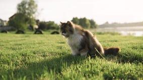 Kot bawić się w trawie Dziki kot wędruje w zielonej trawie zdjęcie wideo