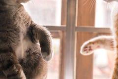 Kot bawić się z jego nogami Obraz Royalty Free