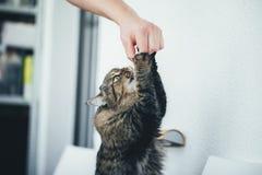 Kot bierze pigułkę obrazy royalty free