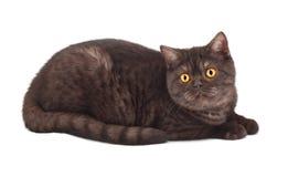 kot brytyjska czekolada Obraz Stock
