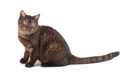 kot brytyjska czekolada Obraz Royalty Free