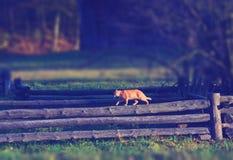 Kot chodzi na drewnianym ogrodzeniu w wiosce Fotografia Royalty Free