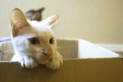 Kot chuje w papierowym pudełku, ciekawa figlarka w pudełku Kot bawić się kryjówkę aport w kartonie - i - Kot bawić się i chujący  zdjęcia royalty free
