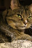 Kot cuddles na leżance Fotografia Royalty Free
