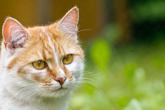 Orange tabby cat. Face of an orange tabby cat Royalty Free Stock Photo