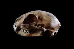 kot czaszka Obrazy Stock