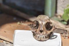 Kot czaszka Obraz Stock