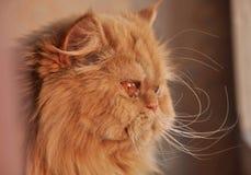 kot czerwień Zdjęcie Stock