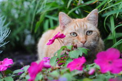 kot czerwień obraz stock