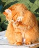 kot czerwień Zdjęcie Royalty Free