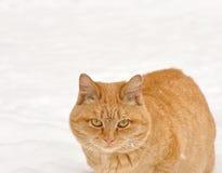 kot czerwień Fotografia Stock