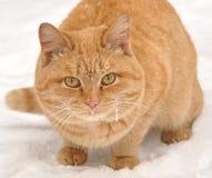 kot czerwień Obrazy Stock