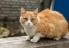 kot czerwień Obraz Royalty Free