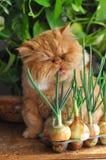 kot czerwień Zdjęcia Stock