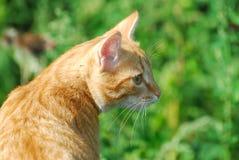 kot czerwień Zdjęcia Royalty Free