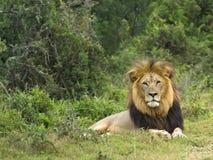 kot dżungla Obrazy Royalty Free