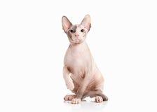 kot Don sphynx figlarka na białym tle Zdjęcie Royalty Free