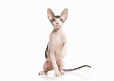 kot Don sphynx figlarka na białym tle Zdjęcie Stock