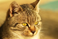 Kot.  (Felis silvestris catus) Zdjęcia Stock