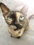 Kot figlarki mały traken Obrazy Stock