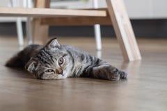Kot figlarki sen na drewnianej podłoga Zdjęcie Royalty Free