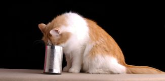 kot głodny Obraz Royalty Free